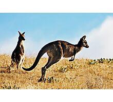 Two Kangaroos Photographic Print