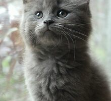 Smokey - The Grey Little Kitten by anitahiltz