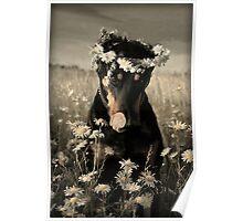 Doberman in wreath of daisies Poster