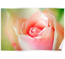 Pink roses close up Poster