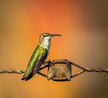 Hummingbird on Barbed Wire 1 by Subwaysign