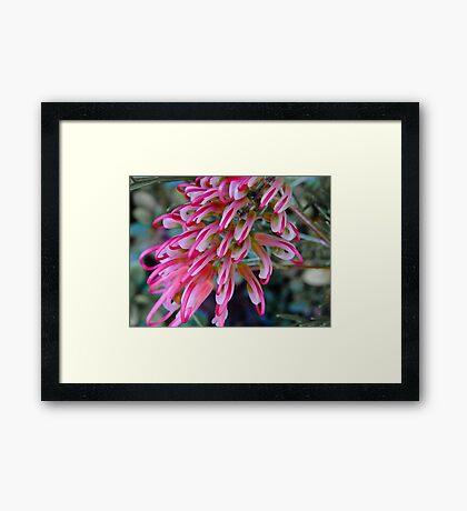 Pink Grevillea - Perth Hills, Western Australia Framed Print
