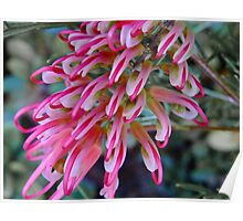 Pink Grevillea - Perth Hills, Western Australia Poster