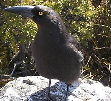 Currawong by Calista O'Neil