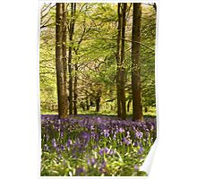 Bluebells and beeches Poster