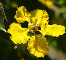 Mascagnia macroptera - Yellow Orchid vine by 3Cavaliers