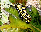 Monarch Caterpillar by Marcia Rubin