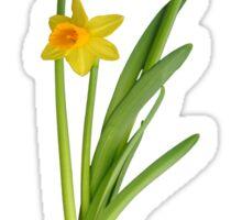 Daffodil on black Sticker