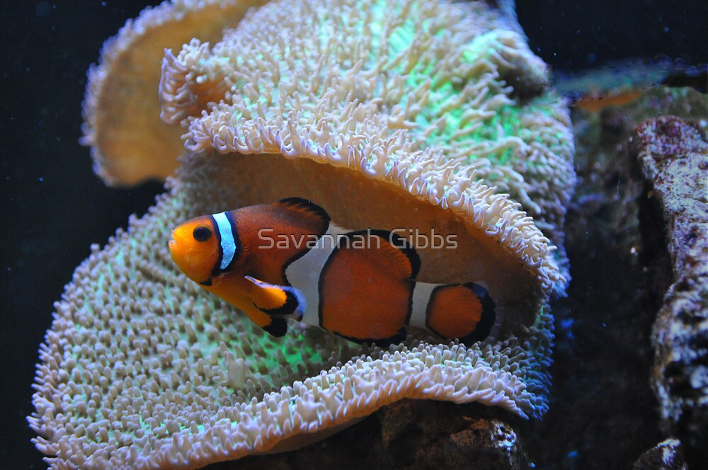 Clown Fish by Savannah Gibbs
