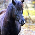 Pryor Mountain mustang by amontanaview