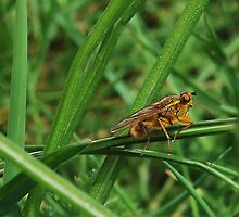 Yellow Dung Fly. by relayer51