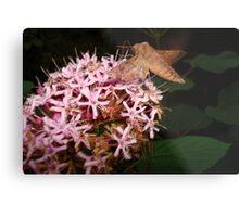 Hummingbird Moth in Clerodendrum Metal Print