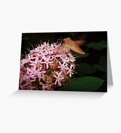 Hummingbird Moth in Clerodendrum Greeting Card