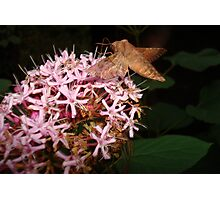 Hummingbird Moth in Clerodendrum Photographic Print