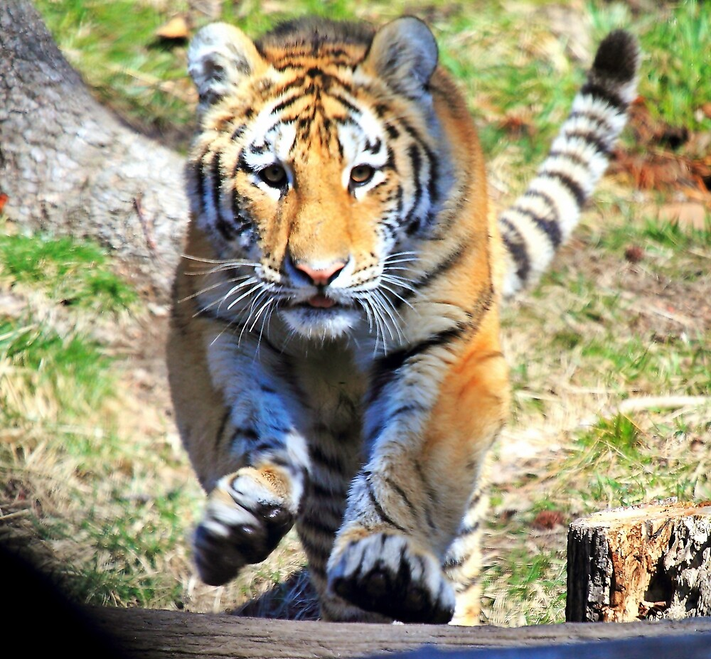 Charging Tiger by pmarella