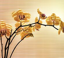 Orchid by VallaV