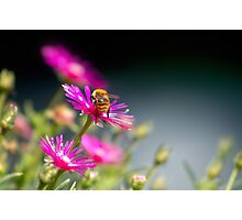 Bee on the pink flower Photographic Print
