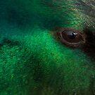 Eye of a Mallard by geoff curtis