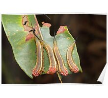 Red Long-Tail Sawfly Larvae Poster