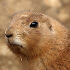 Black Tailed Prairie Dog by Mark Hughes