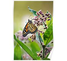 Monarch Butterfly on Milkweed Flower Poster