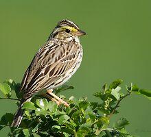 Savannah Sparrow by PixlPixi