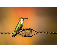 Hummingbird on a Barbed Wire 3 Photographic Print