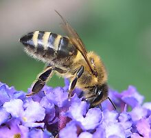 Honey Bee by SteveBB