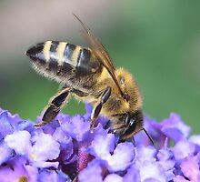 Honey Bee by SteveBB