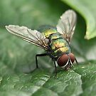 Greenbottle Fly by SteveBB