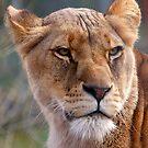 Lioness by SteveBB