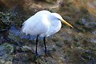 Great Egret In Shallow Water by AuntDot
