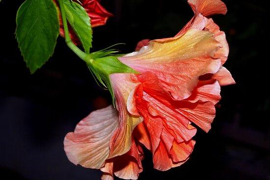 Flamenco dancing hibiscus by ♥⊱ B. Randi Bailey