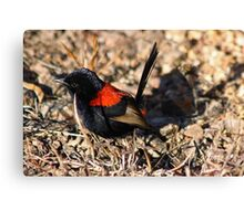 Red-backed Fairy Wren (Male) Canvas Print