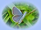 Eastern Tailed Blue Butterfly - Cupido comyntas by MotherNature