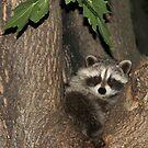 Baby Raccoon by vette
