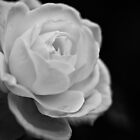 solitary rose, cloudy day, late afternoon light, Birmingham, Alabama by Gerry Daniel