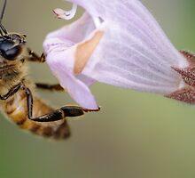 Bee on Salvia by Noam Gordon