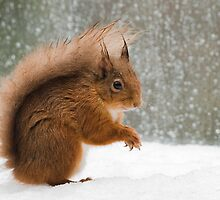 Cheeky Red Squirrel by Nigel Tinlin