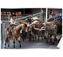 Cattle Drive Thru The Streets Of The Fort Worth Stockyards Poster