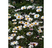 A field of Daises Photographic Print