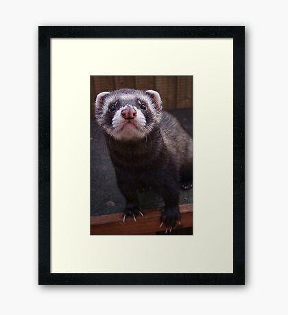 Zorro the polceat/ferret hybrid Framed Print