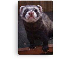Zorro the polceat/ferret hybrid Canvas Print
