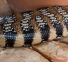 Blue tongue lizard - Tiliqua scincoides by Carmel Williams