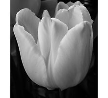 WHITE TULIP Photographic Print