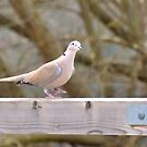dancing dove by Steve