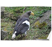 Stellers Sea Eagle Poster