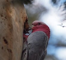 Eolophus roseicapilla Galah #2 by Tom McDonnell