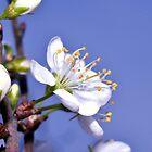 Damson Blossom by Steve