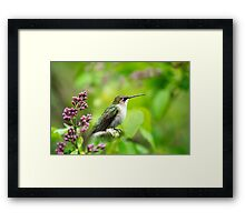 Spring Beauty Hummingbird Art Framed Print